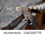 lizard on a wooden stump close... | Shutterstock . vector #1362183770