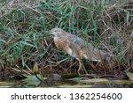 squacco heron  ardeola... | Shutterstock . vector #1362254600