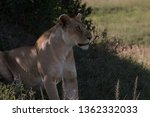 Lioness Looking For Danger