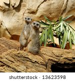 two adorable meerkats - stock photo