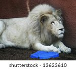 white lion laying against wall - stock photo