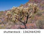 Cholla Cactus Bearing Fruit In...