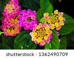 Lantana's Aromatic Flower...
