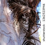 Dried Frond From The Trunk Of...