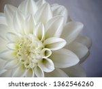 white dahlia flower... | Shutterstock . vector #1362546260