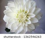 white dahlia flower... | Shutterstock . vector #1362546263