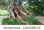 Big Root Collapsed Trees That...