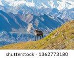 Caribou Deer In Front Of Mount...