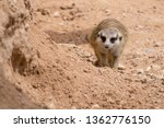 a meerkat walking towards... | Shutterstock . vector #1362776150