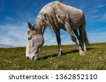 White Horse Grazing In A Rural...