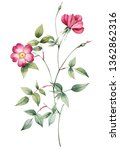 Twig with garden roses. Botanical illustration red roses. This picture can be used as background.