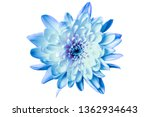 large blue chrysanthemum on a... | Shutterstock . vector #1362934643