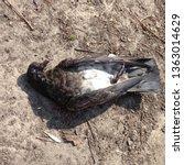 picture of a dead bird. dead... | Shutterstock . vector #1363014629