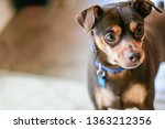Small Male Miniature Pinscher...