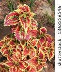 coleus or  solenostemon... | Shutterstock . vector #1363226546