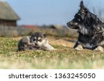 the dog plays with a puppy in... | Shutterstock . vector #1363245050