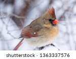 Vibrant Female Red Cardinal...