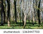 deciduous woodland in argyll... | Shutterstock . vector #1363447703