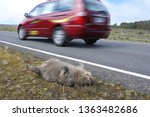 "Small photo of TASMANIA - MAR 23 2019:Roadkill wombat.Tasmania has long held the unenviable title of ""the roadkill capital of Australia"", with an estimated 500,000 native animals dying on the states roads every year"