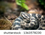 A Rattlesnake Coiled Up On A...