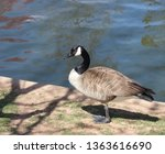 goose standing by waters edge.... | Shutterstock . vector #1363616690
