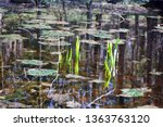 A close-up on two sets of small reeds surrounded by moss and other plants in the middle of a shallow lake or river seen in a local public park in Poland during a sunny spring day