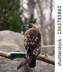 A Captive Golden Eagle Perched...