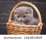 Stock photo scottish fold kitten the kitten looks to the left a puffy kitten sitting in a basket fluffy gray 1363815839