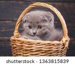 Stock photo scottish fold kitten the kitten looks to the left a puffy kitten sitting in a basket fluffy gray 1363815839