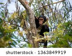 Chimpanzee In The Tree Of...
