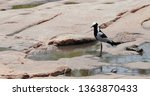 Bird Blacksmith Lapwing On The...