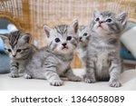 Stock photo kittens striped gray scottish sit cute kittens 1364058089