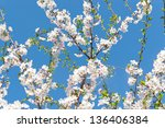 Blossoming cherry, spring background. selective focus. - stock photo