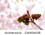 Ash tree buds against blur spring background - stock photo
