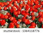 Beautiful Red Spring Tulips An...