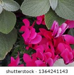 Red Violet Cyclamen With Green...