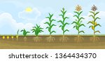 life cycle of corn  maize ... | Shutterstock .eps vector #1364434370