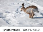 Stock photo hare runs on white snow in winter 1364474810
