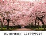 beautiful cherry blossom at... | Shutterstock . vector #1364499119