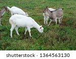 herd of goats is grazed on a...   Shutterstock . vector #1364563130