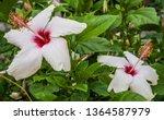 hawaiian hibiscus flower in... | Shutterstock . vector #1364587979