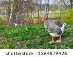 domestic goose  anser anser... | Shutterstock . vector #1364879426