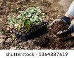 gardener putting soil enriched... | Shutterstock . vector #1364887619