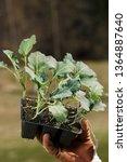 organic broccoli seedlings... | Shutterstock . vector #1364887640