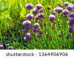 chives  scientific name allium...   Shutterstock . vector #1364906906