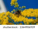 flower of solidago commonly...   Shutterstock . vector #1364906939