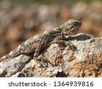 hardun  agama  ladakia stellio  ... | Shutterstock . vector #1364939816