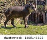 south american tapir  tapirus... | Shutterstock . vector #1365148826