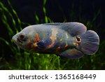 Black Tiger Oscar Fish ...