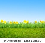 narcissus flowers and green... | Shutterstock . vector #1365168680